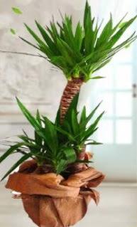2 li yucca saksı çiçek bitkisi  Ankara anneler günü çiçek yolla