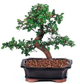 İthal bonsai japon ağacı  Ankara anneler günü çiçek yolla