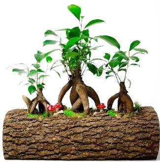 Doğal kütük içinde 3 Bonsai Japon ağacı  Ankara hediye sevgilime hediye çiçek