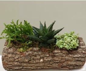 Doğal ahşap kütük içerisinde 3 kaktüs  Ankara çiçek servisi , çiçekçi adresleri