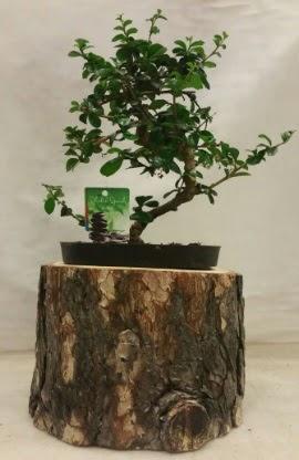 Doğal kütük içinde bonsai japon ağacı  Ankarada çiçek gönderme sitemiz güvenlidir