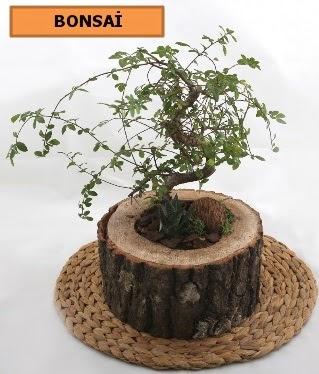 Doğal ağaç kütük içerisinde bonsai bitkisi  Ankara İnternetten çiçek siparişi