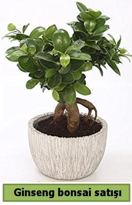 Ginseng bonsai japon ağacı satışı  Ankaraya çiçek yolla