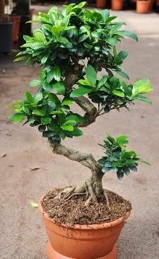 Orta boy bonsai saksı bitkisi  Ankara çiçek servisi , çiçekçi adresleri