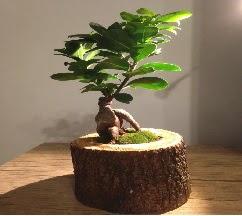 Doğal kütükte Bonsai japon ağacı satışı  Ankara hediye sevgilime hediye çiçek