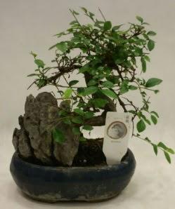 İthal 1.ci kalite bonsai japon ağacı  Ankara çiçek , çiçekçi , çiçekçilik