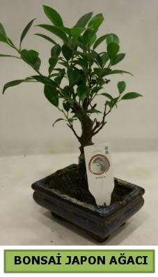 Bonsai japon ağacı saksı bitkisi  Ankara internetten çiçek siparişi