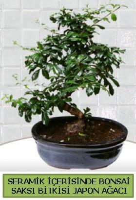 Seramik vazoda bonsai japon ağacı bitkisi  Ankara anneler günü çiçek yolla