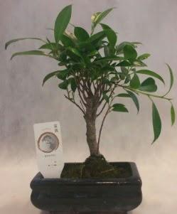 Bonsai japon ağacı bitkisi satışı  Ankara İnternetten çiçek siparişi