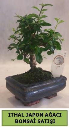 İthal japon ağacı bonsai bitkisi satışı  Ankaraya çiçek yolla