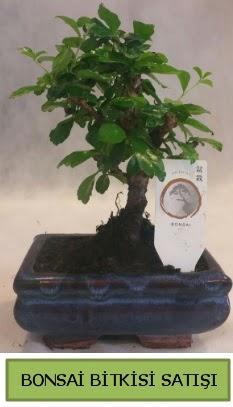 Bonsai ithal görsel minyatür japon ağacı  Ankara çiçek satışı