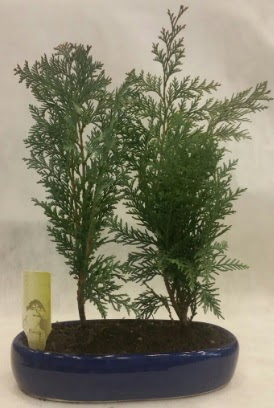 SINIRLI SAYIDA Selvi Ağacı bonsai ikili  Ankaraya çiçek yolla