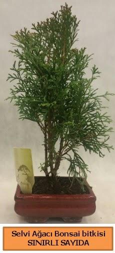 Selvi ağacı bonsai japon ağacı bitkisi  Ankara çiçek , çiçekçi , çiçekçilik
