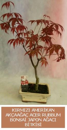 Amerikan akçaağaç Acer Rubrum bonsai  Ankara online çiçekçi , çiçek siparişi