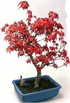 Amerikan akçaağaç bonsai bitkisi  Ankara çiçek gönderme