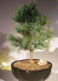 Çam ağacı bonsai bitkisi satışı  Ankara çiçek satışı