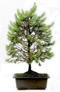 *** STOKTA YOK - Çam ağacı bonsai bitkisi satışı  Ankara yurtiçi ve yurtdışı çiçek siparişi