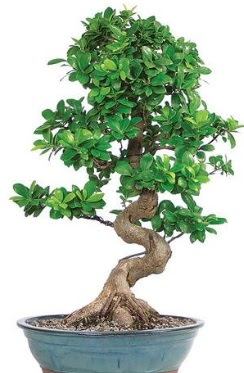 Yaklaşık 70 cm yüksekliğinde ithal bonsai  Ankaraya çiçek yolla