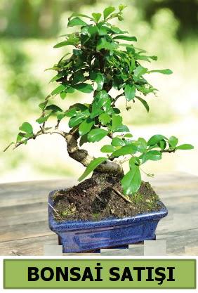 Çam bonsai japon ağacı satışı  Ankara çiçek , çiçekçi , çiçekçilik