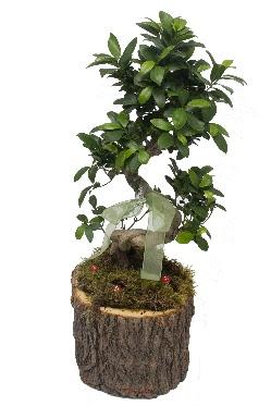 Doğal kütükte bonsai saksı bitkisi  Ankarada çiçek gönderme sitemiz güvenlidir