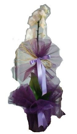 Tek dallı beyaz orkide süper kalite ithal  Ankara anneler günü çiçek yolla