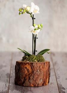 Doğal kütük 2 dallı beyaz orkide  Ankara çiçek gönderme