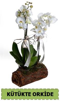 Kütük içerisinde 2 Adet tek dallı orkide  Ankara çiçek siparişi sitesi
