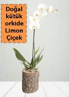 Doğal kütükte tek dallı beyaz orkide  Ankaraya çiçek yolla