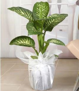 Tropik saksı çiçeği bitkisi  Ankara çiçek , çiçekçi , çiçekçilik
