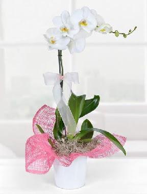 Tek dallı beyaz orkide seramik saksıda  Ankara çiçekçi telefonları