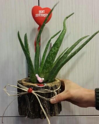 Kütük içerisinde alovera çiçeği bitkisi  Ankaraya çiçek yolla
