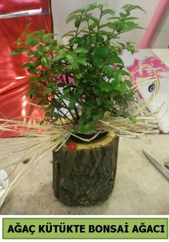 Doğal ağaç kütük içerisinde bonsai ağacı  Ankara İnternetten çiçek siparişi
