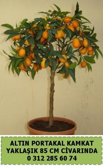 Altın portakal Kamkat ağacı bitkisi  Ankara çiçekçi telefonları