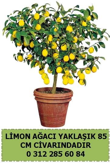 Limon ağacı bitkisi  Ankara çiçek , çiçekçi , çiçekçilik