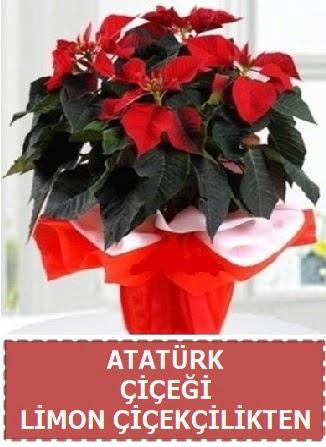 Atatürk çiçeği saksı bitkisi  Ankara çiçek , çiçekçi , çiçekçilik