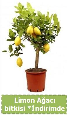 Limon ağacı bitkisi Ev için limon bitkisi  Ankara ucuz çiçek gönder