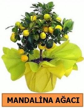 Mandalina ağacı Mandalina bitkisi  Ankara çiçekçi telefonları