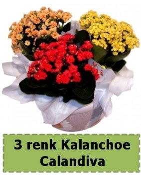 3 renk Kalanchoe Calandiva saksı bitkisi  Ankara çiçekçi telefonları