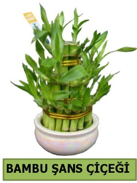 Bambu şans çiçeği bitkisi  Ankaraya çiçek yolla