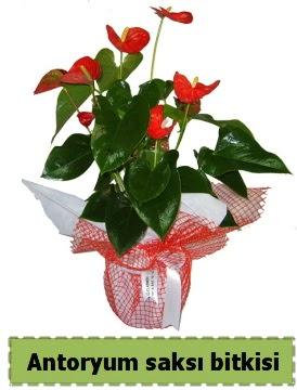 Antoryum saksı bitkisi satışı  Ankara ucuz çiçek gönder