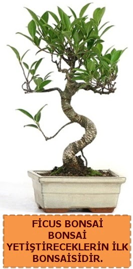 Ficus bonsai 15 ile 25 cm arasındadır  Ankara çiçek gönderme