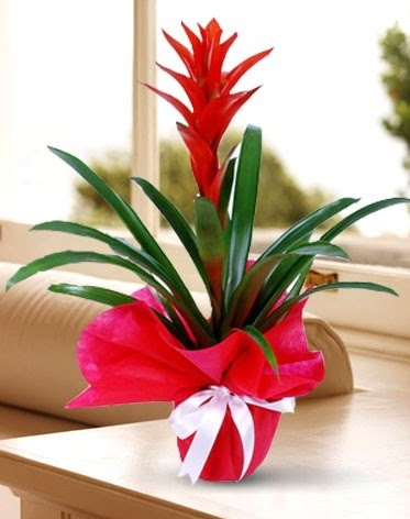 Guzmanya Saksı Çiçeği  Ankara çiçek gönderme
