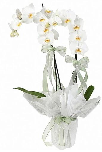 Çift Dallı Beyaz Orkide  Ankara çiçek siparişi sitesi