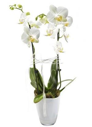2 dallı beyaz seramik beyaz orkide saksısı  Ankara İnternetten çiçek siparişi