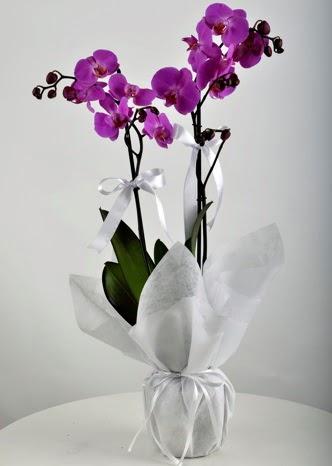 Çift dallı saksıda mor orkide çiçeği  Ankara çiçek mağazası , çiçekçi adresleri