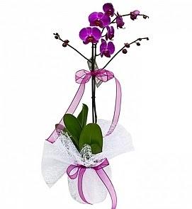Tek dallı saksıda ithal mor orkide çiçeği  Ankara çiçek online çiçek siparişi