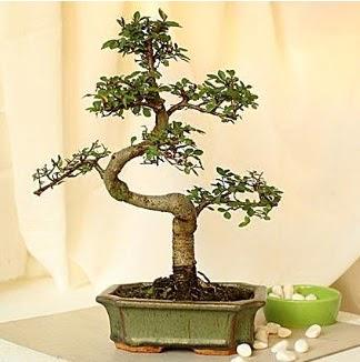 Shape S bonsai  Ankarada çiçek gönderme sitemiz güvenlidir