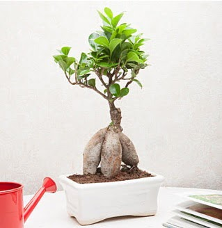 Exotic Ficus Bonsai ginseng  Ankara internetten çiçek siparişi