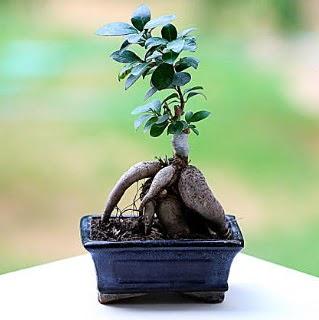 Marvellous Ficus Microcarpa ginseng bonsai  Ankara çiçek mağazası , çiçekçi adresleri