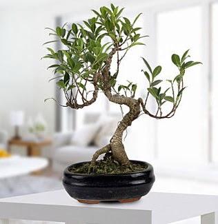 Gorgeous Ficus S shaped japon bonsai  Ankara cicekciler , cicek siparisi